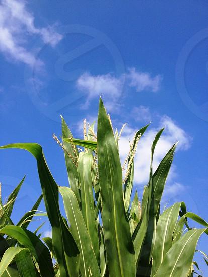 Corn. photo