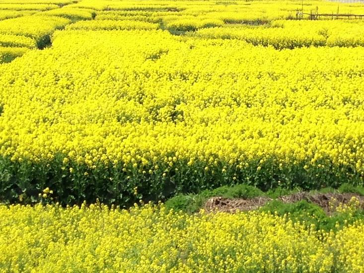 油菜花 Suzhou China photo