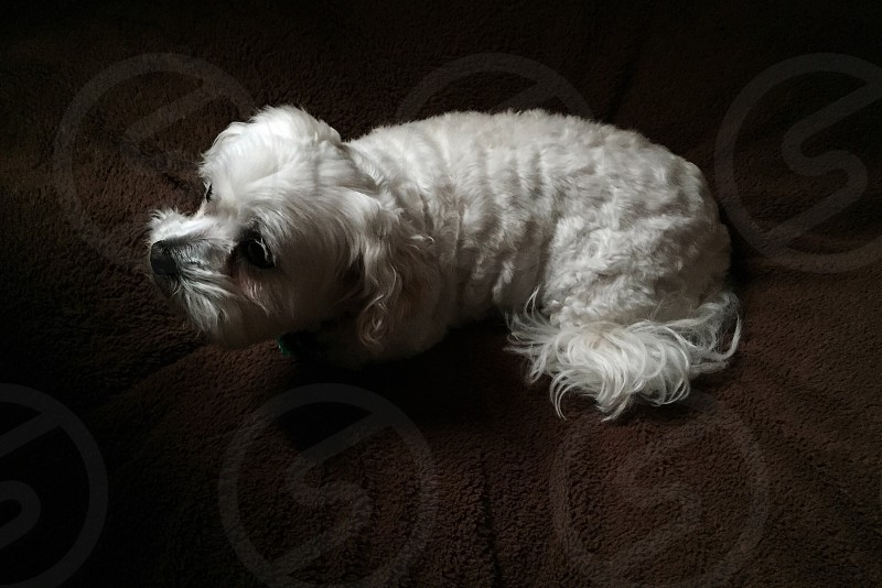 white long haired dog lying on brown textile photo