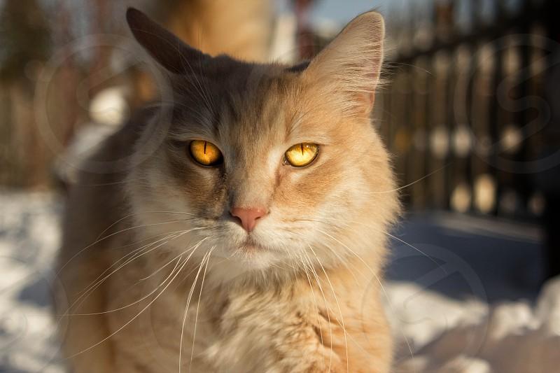 orange cat cat in snow cat cats eyes photo
