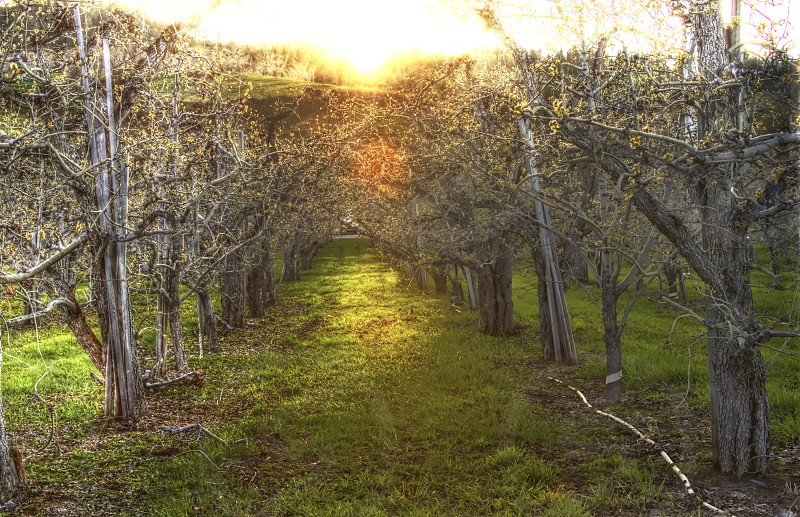 Apple orchard trees sunset apple blossoms winter farming agriculture photo