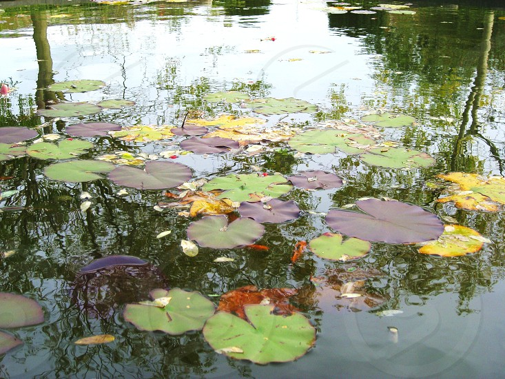 lily pads on still water photo