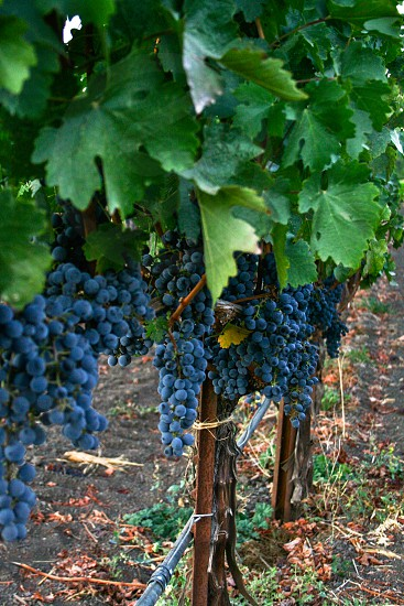 grapes in vineyard photo