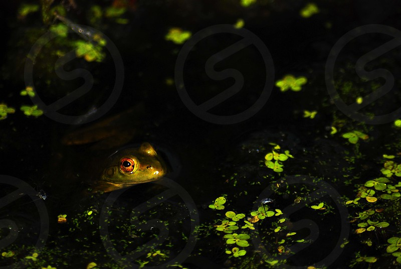 frog hiding in a pond photo