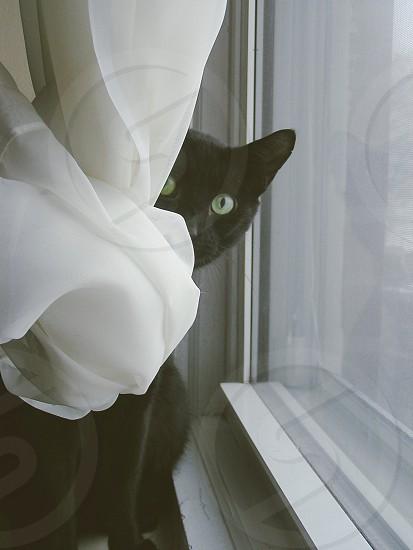 Cat playing peekaboo behind a curtain. photo