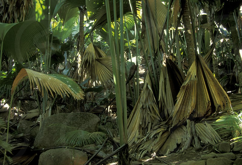 the Vallee de mai Natural park on the Island Praslin of the seychelles islands in the indian ocean photo