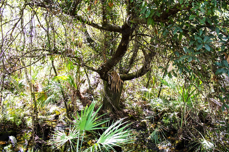 A tree in the everglades photo