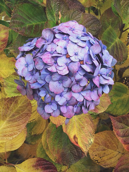 Hydrangeas are gorgeous! Love the vibrant colors of blues and purples. Used T1/moody in VSCOcam. photo