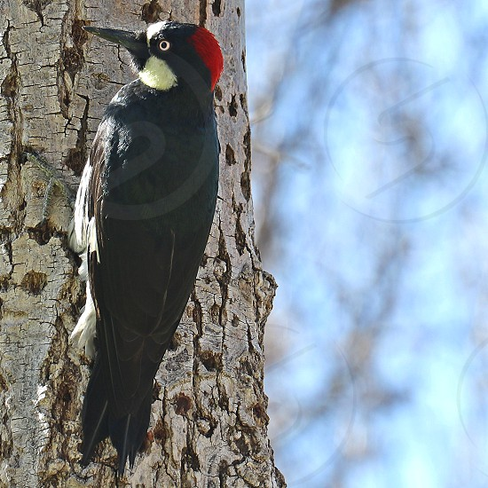 Red headed woodpecker taps on the pitted trunk of a tree on a blurred background photo