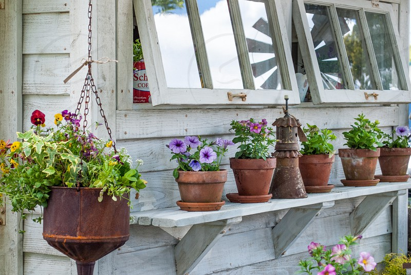 Garden shed plants pots flowers bloom window petunias vintage rustic country gardening  photo