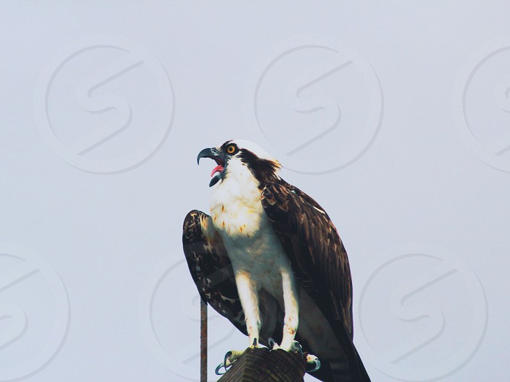 Osprey calling a mate #animals #birds #nature #beautiful  photo
