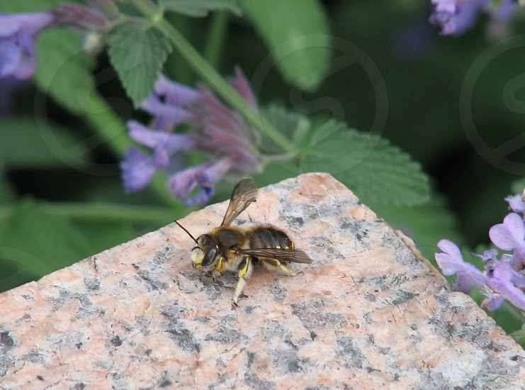 black and yellow bee near on purple flower photo