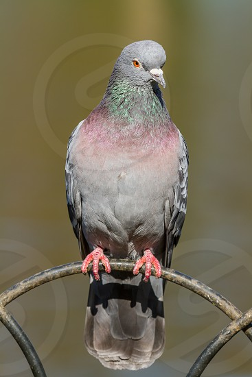 A pigeon having a rest in a London park. photo