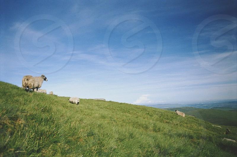 Sheep livestock hill mountain climb Ben Lomond Scotland Scottish farm farming sun summer landscape photo