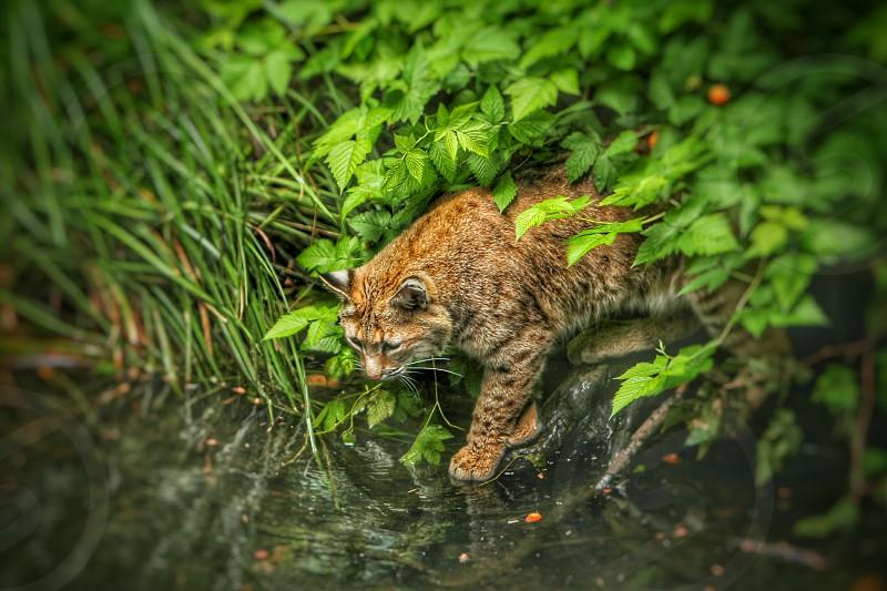 cat Bob Cat feline fishinghunter pond photo