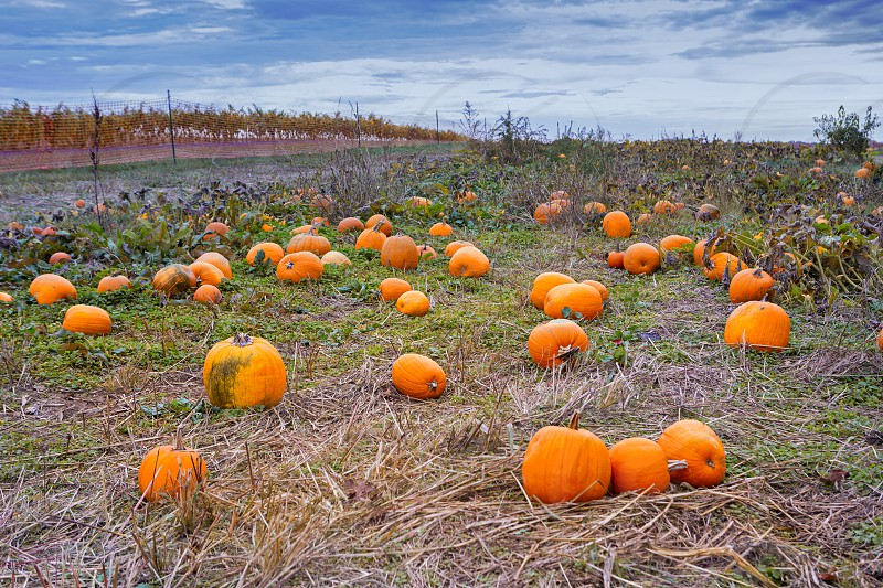 Fresh ripe pumpkins at a local farmj photo