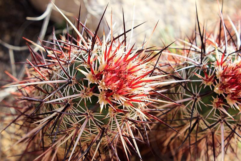 Cactus cholla face funny cute scary landscape desert Joshua tree national park closeup macro color outdoors outside hike camping camp cholla garden California cali SoCal red sharp photo