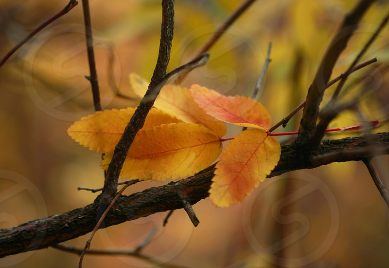 gold leaves on twig photo