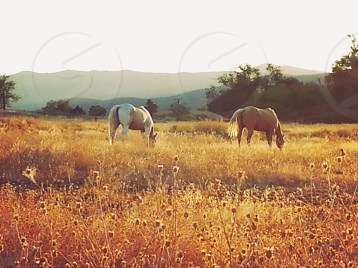 Two beautiful horses grazing peacefully a on cool autumn afternoon. photo