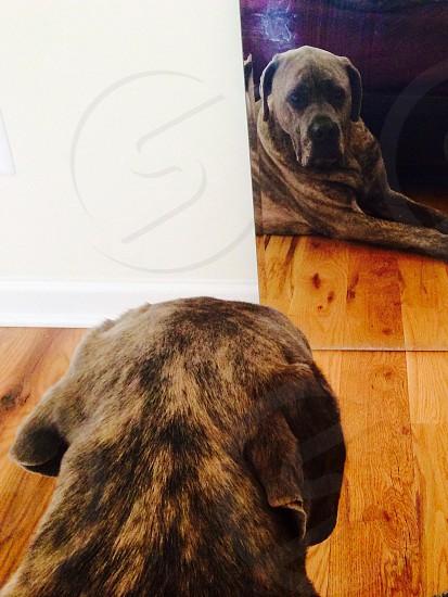 staffordshire bull terrier facing mirror photo