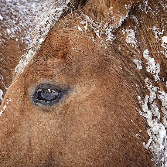 animals horses snow winter horse head equine horse in the snow photo
