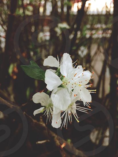 white petaled flower with brown stigma photo