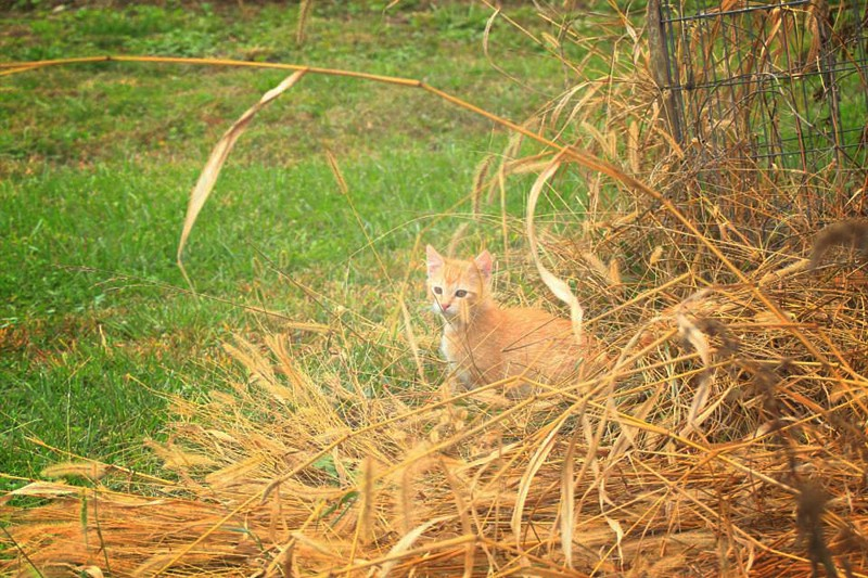 outdoors wheat cat weeds green gold nature  photo