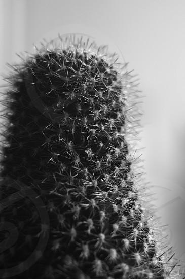 cactus   plant   spiky   silhouette   spikes   nature   black   white   blackandwhite   monochrome  photo