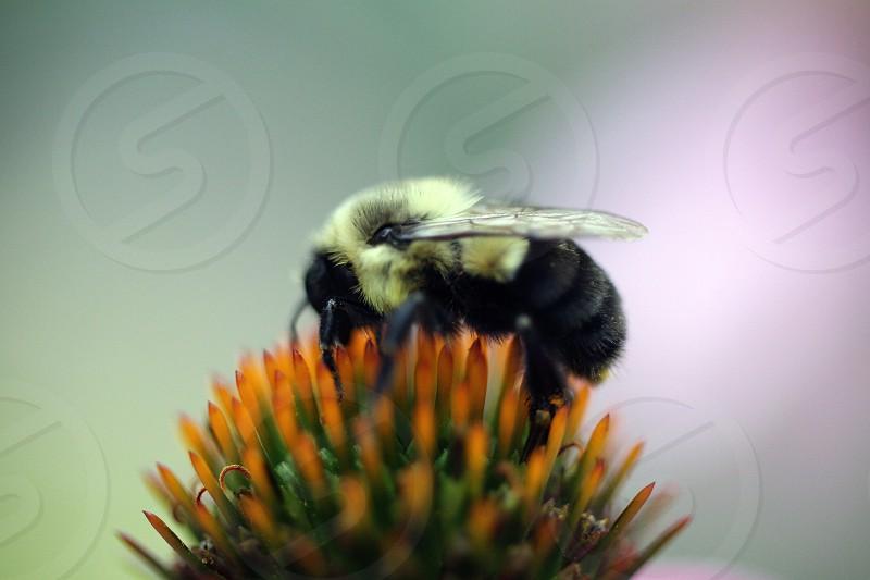 black and yellow bumblebee photo