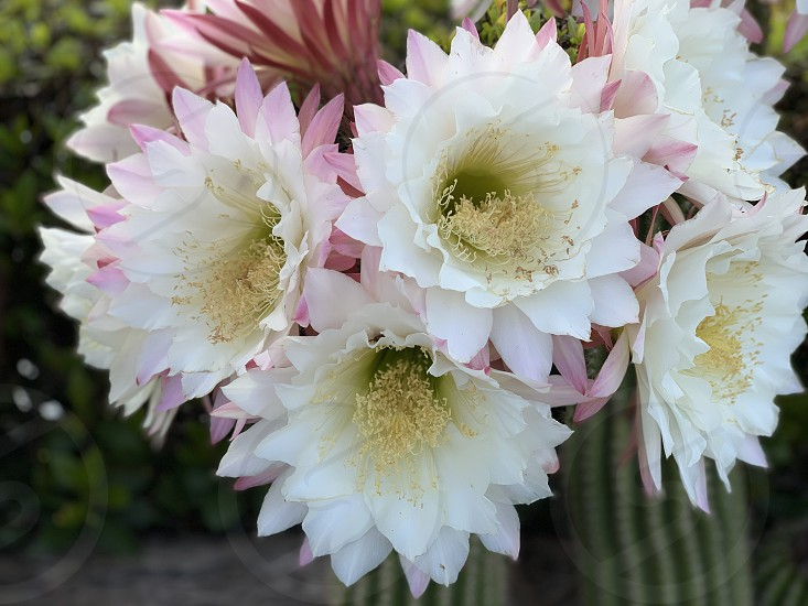 Cactus flowers happiness in my garden during the spring season photo