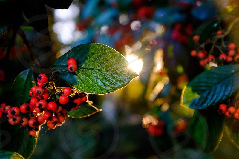 Sunshine through Autumn berries on a leaf  photo