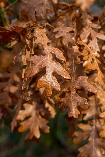 Brown autumnal oak leaves on the branch in sunshine photo