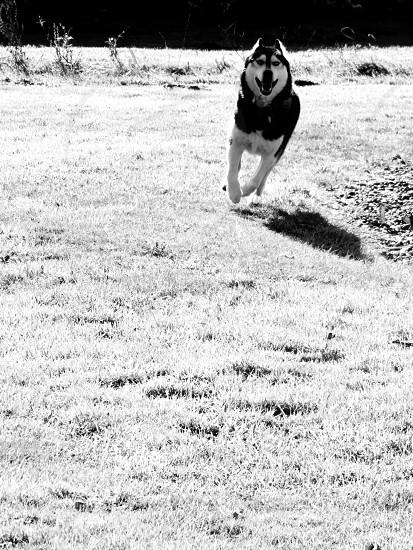 Run husky run photo