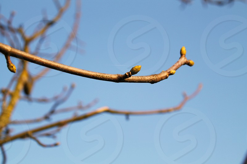 Buds in spring photo