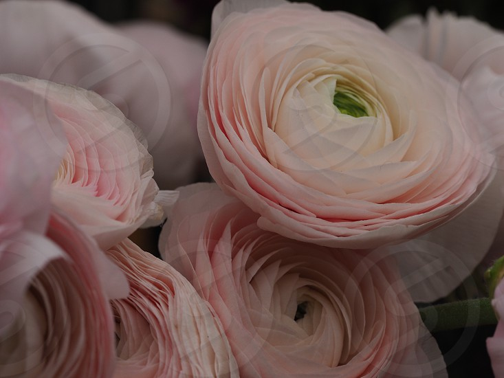 close photography of round pink flower photo