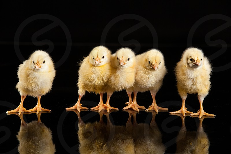 Five little yellow chickens on a black background photo