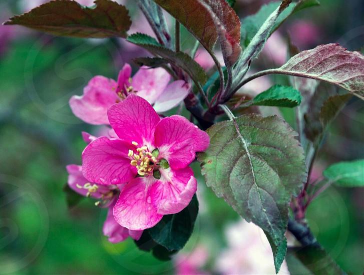 FlowersAppleBlossomGreen photo