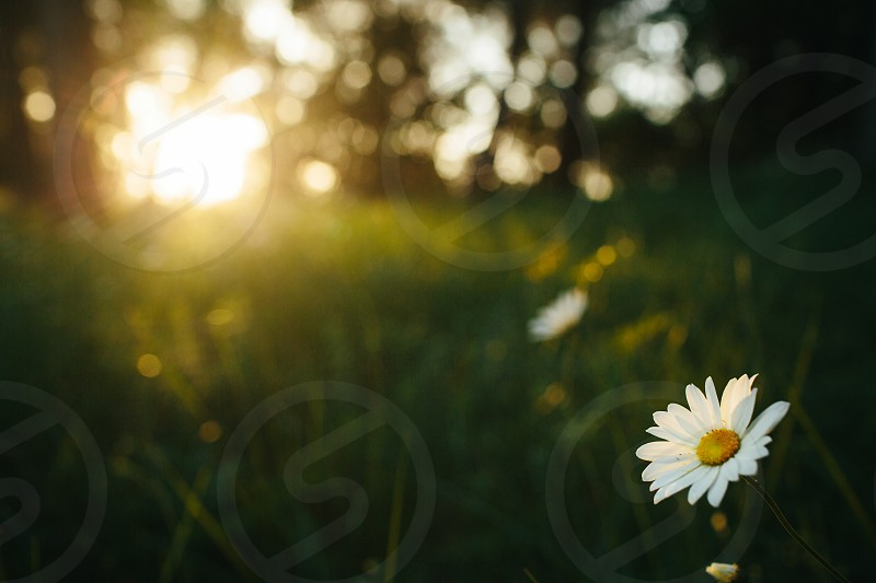 Daisy kissed by sun. photo