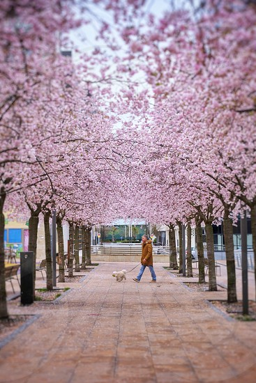 man wearing brown jacket with white dog on leash in the middle of cherryblossom tree line photo