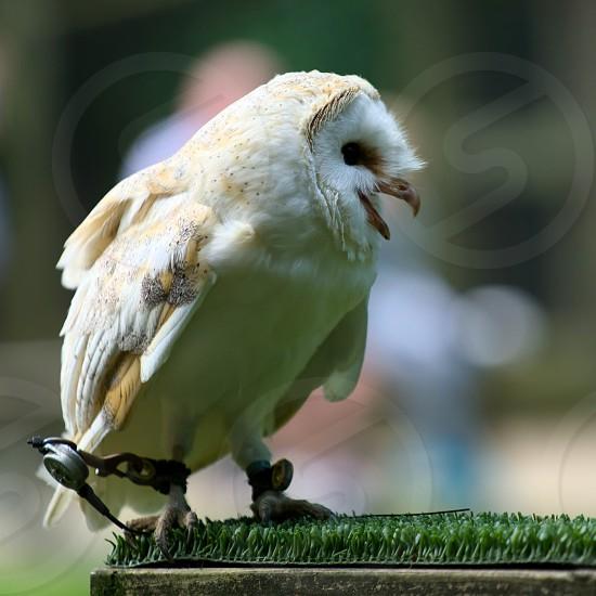 Barn Owl (Tyto alba) photo
