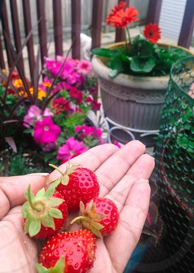 #whp strawberry season  photo