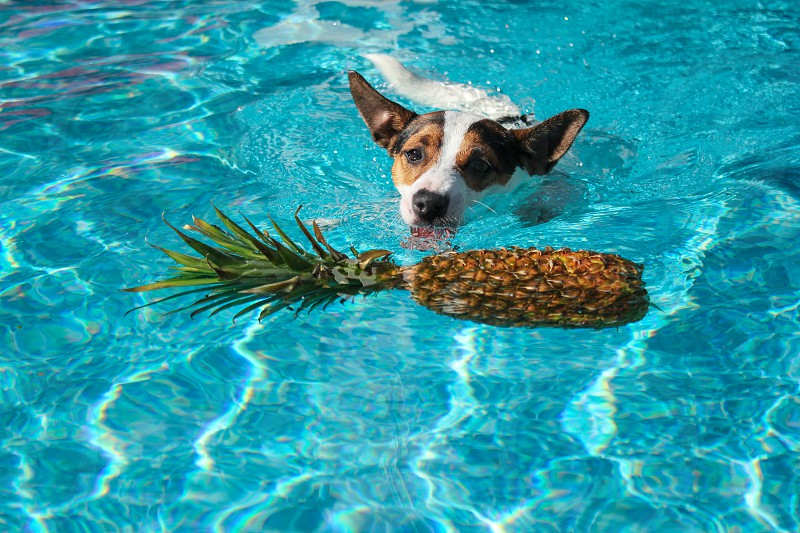 Dog swimming in the light blue waters of outdoor pool towards a floating pineapple. photo