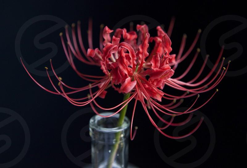 Spider lily still life photo
