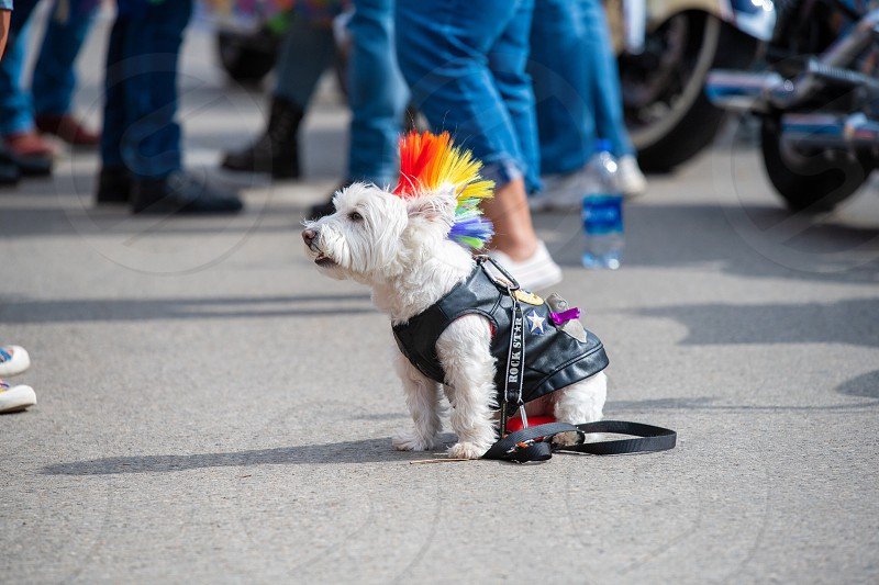 Pride dog Columbus pride lgbt lgbtq happy together rainbow standup proud pride month Mohawk leather jacket leash photo