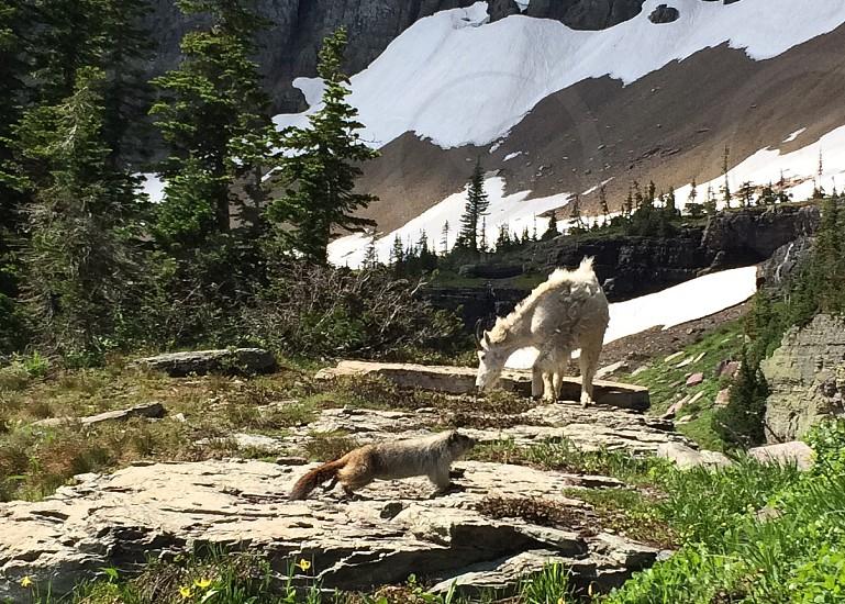 Marmot with mountain goat photo