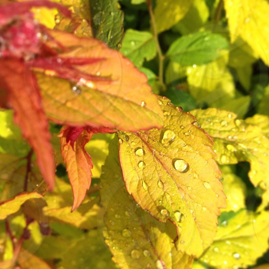 Yellow leaves with fresh raindrops photo