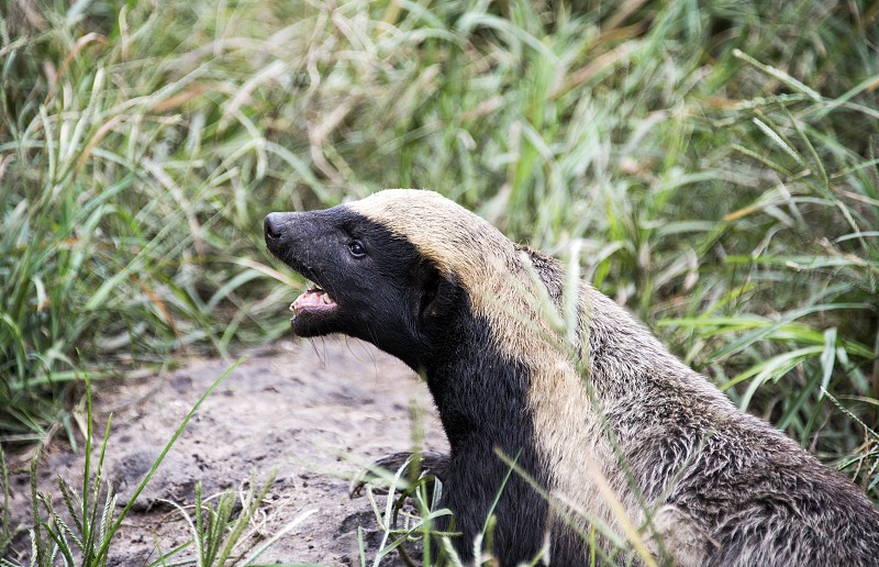 african honey badger or Mellivora capensis photo