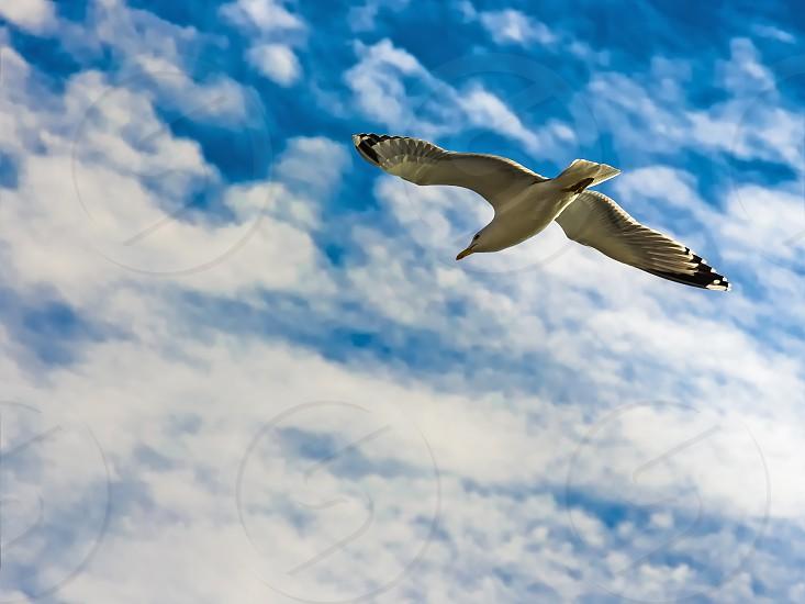 Yellow-legged seagull (Larus Michahellis) flying around the Bay of Cadiz photo
