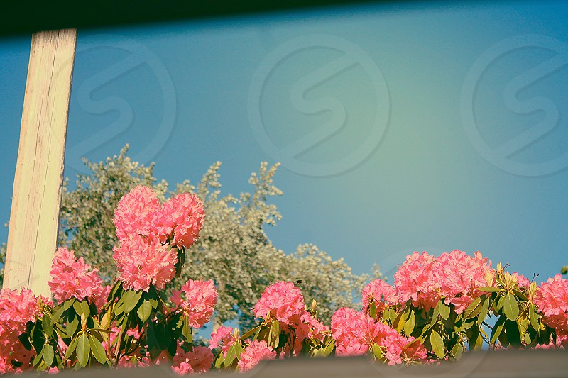 Blooming. photo