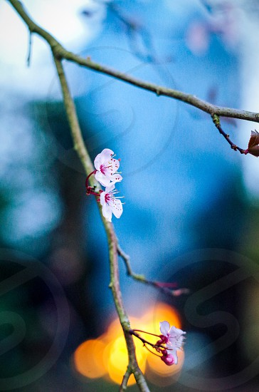 Plum blossom against a spring bonfire. photo